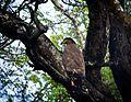 Eagle in Nagarhole forest.jpg