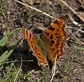 Early Comma butterfly 1 (4544128248).jpg