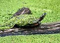 Easter painted turtle reptile chrysemys picta picta.jpg