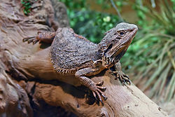 The Eastern Bearded Dragon, Pogona barbata