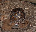 Eastern Box Turtle 8674.jpg