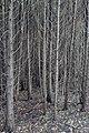 Eastern White Cedar (Thuja occidentalis) - Kitchener, Ontario.jpg