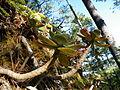Echeveria aff. montana (5740160876).jpg