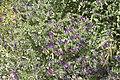 Echium plantagineum-2737.jpg