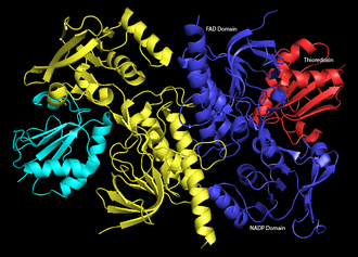 Thioredoxin reductase - Image: Ecoli Trx Rwith Bound Thioredoxin