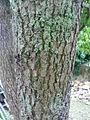 Ecorce d'arbre inconnu.JPG