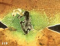 Ectoedemia quinquella larva.JPG