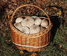 Edible fungi in basket 2019 G2.jpg