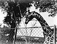 Een giraffe, Bestanddeelnr 252-1424.jpg