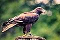 Egyptian Vulture - Side (8303256703).jpg
