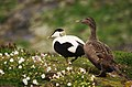 Eider ducks on the move (13977487298).jpg