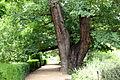 """El árbol """"Pantalones"""" (225 años).jpg"""