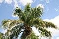 Elaeis guineensis 16zz.jpg