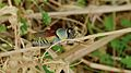Elegant Grasshopper (Zonocerus elegans) (6029158087).jpg