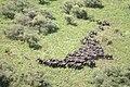 Elephant herd (5912064891).jpg