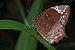 Elymnias caudata on Kadavoor.jpg