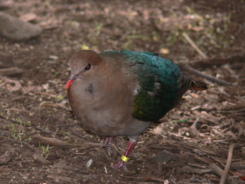 चित्र:Emerald dove444.jpg