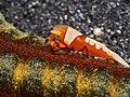 Emperor shrimp (Periclimenes imperator) (24139159050).jpg