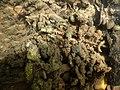 Encroutement algal ou bactérien sur restes de fil de pêche dans la Sèvre niortaise photo F Lamiot 09.jpg