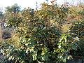 Englerophytum magalismontanum, a, Phalandingwe.jpg