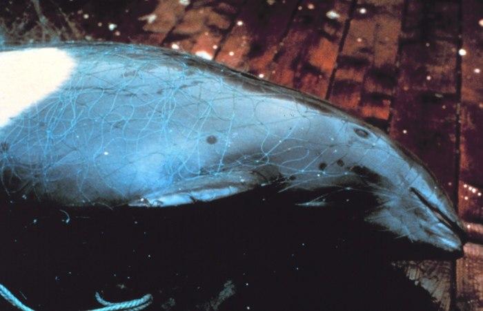 Entangled porpoise