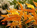 Epidendrum ciliare, 2015-03-13, Phipps Conservatory, 01.jpg