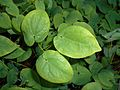 Epimedium versicolor Sulphureum 2017-05-23 0389.jpg