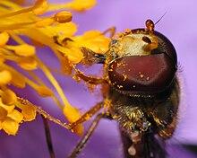 Impollinazione entomogama di Cistus incanus da parte di un dittero (Episyrphus balteatus)