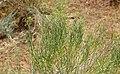 Ericameria nauseosa (rubber rabbitbrush) 1 (23449604283).jpg