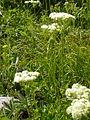 Eriogonum umbellatum (5006097825).jpg