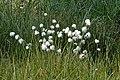 Eriophorum.vaginatum.2.jpg