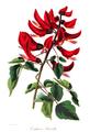 Erythrina x bidwillii-1849.png