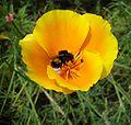 Eschscholzia californica-Bouba.jpg