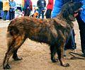 Estrela Mountain Dog Puppies Uk
