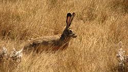 Ethiopian Highland Hare (Lepus starcki) in grass.jpg