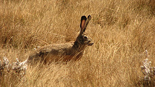 Ethiopian highland hare species of mammal