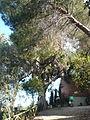 Eucaliptus del parc de l'Oreneta - arbre d'interès local P1510230.jpg