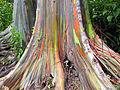 Eucalyptus deglupta-base mega size.jpg