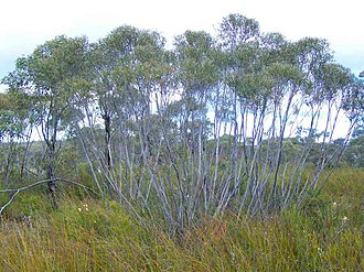 Mallee (habit) - Typical form of a mallee, Eucalyptus stricta