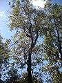 Eucalyptus summeryi.jpg
