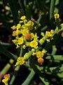 Euphorbia aphylla 002.JPG