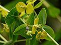 Euphorbia cornigera (7938219976).jpg