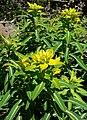 Euphorbia jacquemontii 2.jpg