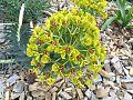 Euphorbia myrsinites Washfield.jpg