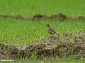 Eurasian Skylark (Alauda arvensis) (32667684160).jpg
