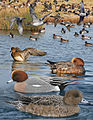 Eurasian Wigeon From The Crossley ID Guide Eastern Birds.jpg