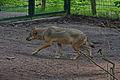 Europäischer Grauwolf (Canis lupus lupus) im Wolfcenter Barme (Dörverden) IMG 9034.jpg