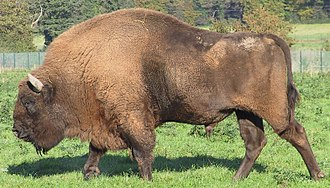 European bison - A side view of a European bison