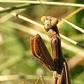 European Mantis (15918948727).jpg