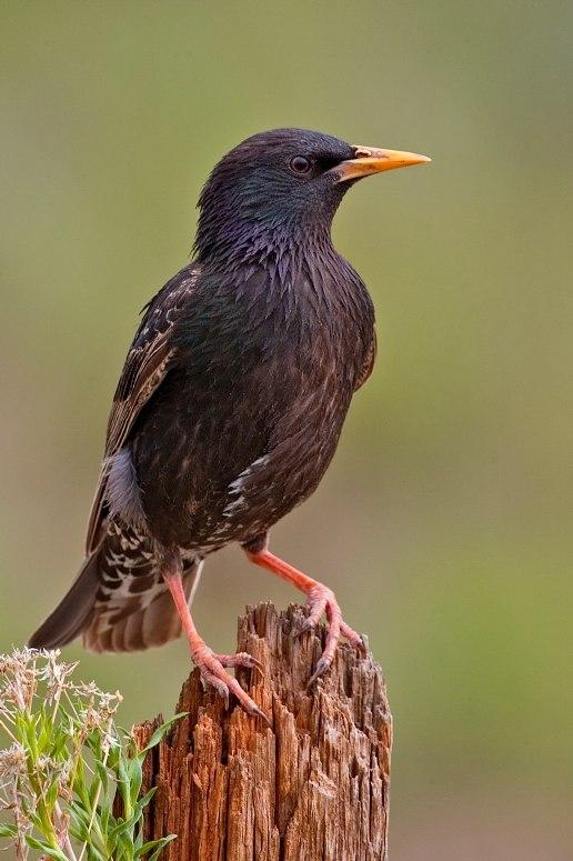 European Starling 2006